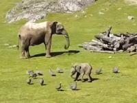 鳥を追いかけるゾウの赤ちゃんがカワ(・∀・)イイと人気になっているビデオ。