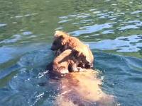 クマの親子はこうして湖を渡る。幼い兄弟を背中に乗せて熊掻きするママン。