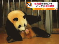 ワタシ!生まれます!パンダの出産シーンが予想外の勢いで笑ったwww