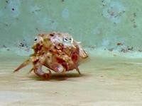 ヤドカリの動きと格好を真似して小魚に近づき捕食するイカが発見される。