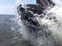 これはすごいwww釣り船の真横でザトウクジラがドーン!と飛び出してきた動画。