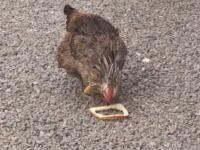 パンを食べていたニワトリさんがチキンサンドになってしまう映像が人気に。