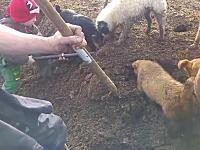 ワンちゃんたちを使ったネズミ狩りの動画。地面を掘り起こすとネズミが次々と。