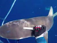 どうしてもキハダは手放したくない。襲ってきたサメをナイフ一本で撃退したダイバーのビデオ。
