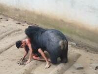 タイの寺院で36歳の男性が大きな熊に襲われるという恐怖映像が撮影される(((゚Д゚)))