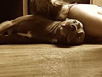 てんかん発作の際に飼い主の頭部を守るように訓練されたラブラドールのビデオ。