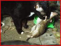 野鼠とネコ。狩ったネズミを子猫たちに与えるママネコ。内臓注意。
