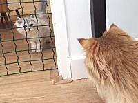 新しく迎えた子猫ちゃんと先住猫が仲良くなるまで(動画)カワイスギ萌えた。