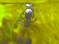 ミズグモ。空気を身にまとって水中で生活するという珍しい蜘蛛のビデオ。