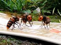 富山の害虫駆除会社による蜂の巣駆除の映像が人気に。オオスズメバチ、クロスズメバチ。