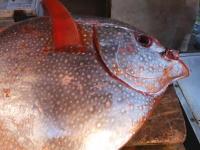 まあるい魚。東京の魚市場で売られていたアカマンボウの映像が人気に。