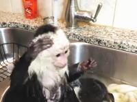 自分で洗ってるwww小さなお猿さんのバスタイムがめちゃカワイイ動画。