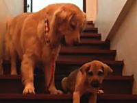 厳しいママワン。我が子に階段の折り方を厳しく教えるママさんのビデオ。