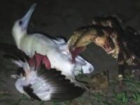 ヤシガニさん強い。生きたカモメを捕らえて食べるヤシガニが目撃される。