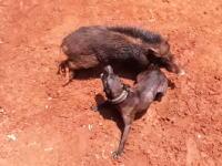 闘犬。見世物としてイノシシとワンちゃんを戦わせる映像。Adu Bagong