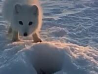 どうしても小魚(カペリン)が欲しい北極キツネと釣り人のやりとり。