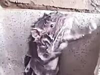 シンクでネズミさんが体を洗っていた!という動画がワロタwwwうっそだろ?www