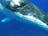 巨大なザトウクジラに持ち上げられてしまったダイバーの映像が人気に。