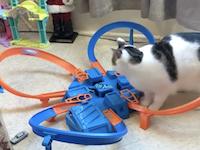 このスピードは猫にも追えないwww高速ホットウィールに翻弄される猫ちゃん。