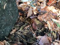 暖かいところにしかいないはずの巨大ゴキブリが静岡県で増殖中(((゚Д゚)))