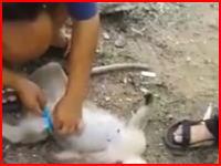 事故死した妊婦さるをカミソリで帝王切開して赤ちゃんを救うビデオ。