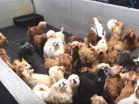 子犬はこうして生産される。福井県の子犬生産工場の内部映像。