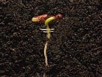 お豆さんからタイムラプス。根っこが成長する25日間の記録を2分半で見るビデオ。