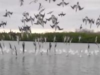 獲物目掛けて一斉に飛び込むアオアシカツオドリの群れの映像がカッコイイ!