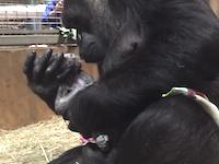 ゴリラの出産シーンがなかなか衝撃的。自分の手で赤ちゃんを取り上げるゴリラの映像。