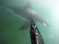 魚突きで潜っていたダイバーが突然後ろからサメに襲われてしまう衝撃映像。