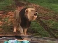 オープンカーで野生のライオンと近接遭遇。こんなの怖すぎておしっこちびる。