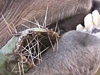 硬そうな棘が生えたサボテンをバリバリむしゃむしゃ食べるラクダの映像。