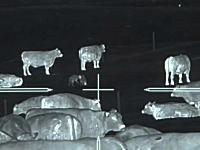 ハンター動画。牧場に侵入したコヨーテを狙撃するサーマルカメラの映像。