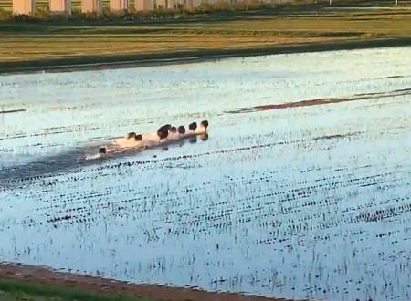 朝焼けとイノシシ。増水した利根川から逃げるイノシシ一家の映像が大人気に。