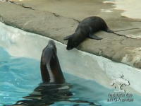 アシカのお母さんが赤ちゃんに泳ぎ方を教えているほのぼのムービー