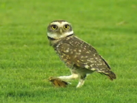 サッカースタジアムに舞い降りたフクロウがピッチの中央で狩りを行う映像。