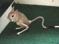 ピョンピョンピョンピョン。珍しいペット「トビネズミ」小さな小さなカンガルー