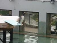 頑張れペンギン君。飛び込み台からなかなか飛び込めない臆病なペンギン。