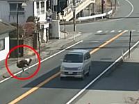 道路を行くダチョウの姿がシュールなライブカメラ映像。車に煽られる場面も。