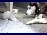 大きな犬にじゃれ付く子猫がカワエエ(*´Д`)