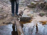 一本橋の水溜りを避けて渡るネコちゃんが可愛い。肉球を濡らしたくないネコ