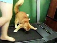 運動不足にゃん。ルームランナーに挑戦するニャンコたちの面白ムービー集