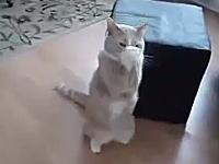 キャッチ!投げられたおやつをニャンコが両手でキャッチ!なネコネコ動画