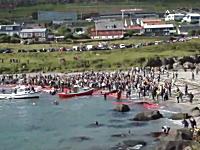 シーシェパードさんこっちです。デンマークのイルカ追い込み漁の様子。映像