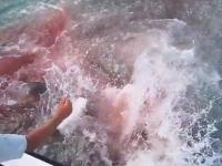 血で染まる海。釣ったターポンがボート近くで2匹のオオメジロザメに奪われる