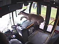 凄い衝撃。バスのフロントガラスを突き破った鹿さんの映像。大パニック(´・_・`)