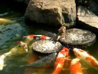 池の錦鯉に餌を与えているアヒルの赤ちゃん。餌付けダックかわゆす(*´Д`)