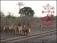もはやリンチ。20頭のライオンが一頭のバッファローに襲い掛かる。捕食動画