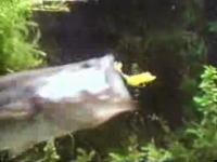 ブラックバスがルアーを咥える瞬間を水中から撮影