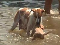 ワンコも子犬を連れて避難。大規模な洪水被害に見舞われているタイの映像